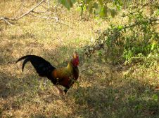 junglefowl - National Bird